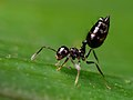 Myrmicinae - Crematogaster - Salto Morato - Paraná.jpg