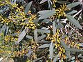 Myrtales - Eucalyptus dalrympleana 12.jpg