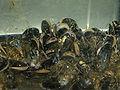 Mytilus edulis (live).jpg