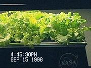 NASA-Aeroponics International-lettuce-day12