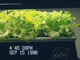 NASA-Aeroponics International-lettuce-day12
