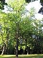 ND-Tulpenbaum Wr Neustadt 01.JPG