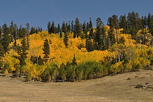 Kaibab National Forest - Aspen trees in fall colors, North Kaibab Ranger District