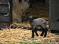 NL-ZH - Lisse - Sheep - Chordata - Ovis - Bovidae - Artiodactyla (4890173807).jpg