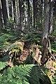 NPR Boubínský prales 20120910 22.jpg