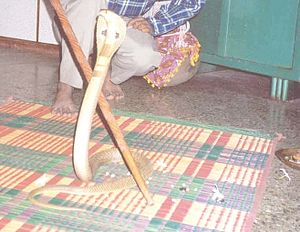 Shirala - King Cobra being worshiped during Shirala Naag Panchami