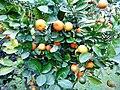 Narangi fruit.jpg