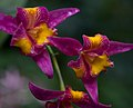 National Orchid Garden (2) (4033325247).jpg