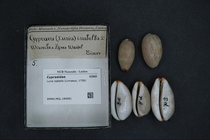 File:Naturalis Biodiversity Center - RMNH.MOL.184081 - Luria isabella (Linnaeus, 1758) - Cypraeidae - Mollusc shell.jpeg