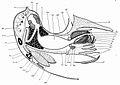 Nautilus anatomy.jpg
