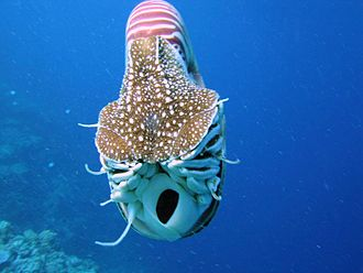Siphon (mollusc) - Nautilus belauensis seen from the front, showing the opening of the hyponome.