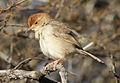 Neddicky, or Piping Cisticola, Cisticola fulvicapilla at Polokwane Nature Reserve, Polokwane, Limpopo, South Africa (14683001094).jpg