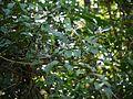 Neolitsea cassia (15579534814).jpg
