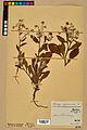 Neuchâtel Herbarium - Borago officinalis - NEU000020576.jpg