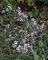 New England Aster (Symphyotrichum novae-angliae) - Kitchener, Ontario.jpg