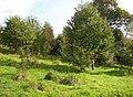 New woodland, Laugharne - geograph.org.uk - 596513.jpg