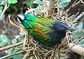 Nicobar Pigeon, An almost extinct bird.jpg