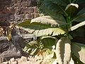 Nicotiana tabacum (6499788045).jpg