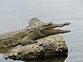 Nile Crocodile (Crocodylus niloticus) juvenile (12717905014).jpg