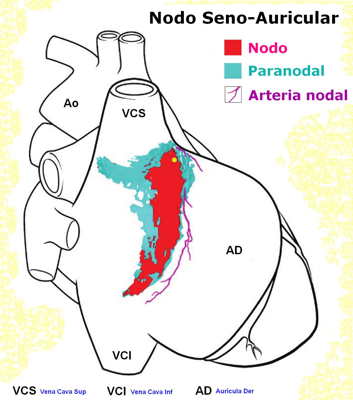 Nódulo sinoauricular - Wikipedia, la enciclopedia libre