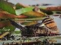 Nomonyx dominicus Pato enmascarado Masked Duck (female) (11329665986).jpg