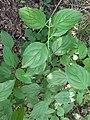Noordwijk - Rode kornoelje (Cornus sanguinea).jpg