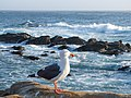 NorCal2018 Western gull at Point Lobos Monterey County S0100030.jpg