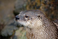 North American River Otter - CNP 3331 (6905844570).jpg