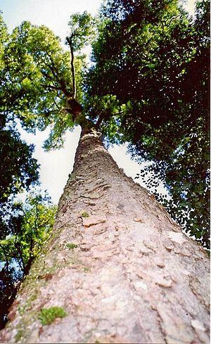 Lophozonia moorei - Large Antarctic beech at Cobark Park, Barrington Tops, 50 metres tall