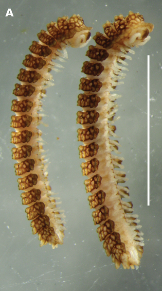 Payl:Notopyrgodesmus kulla male and female paratypes ex QM S92793.png