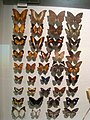 Nymphalidae - Oslo Zoological Museum - IMG 9078.jpg