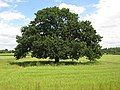 Oak tree, near Kersoe - geograph.org.uk - 851570.jpg