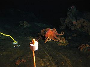 Vailulu'u - Image: Octopus sp