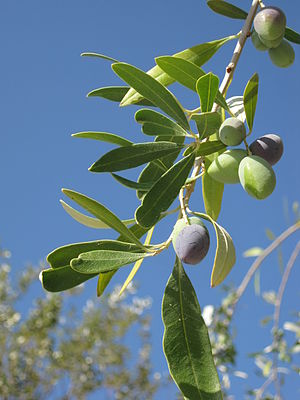 Olea europaea (olives on tree), Skala Kalloni, Lesbos, Greece.jpg