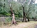 Olivenbäume, Olivo - panoramio.jpg