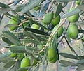 Olives my campo.JPEG
