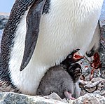 On Paulet Island.more Adelie Penguins (Pygoscelis adeliae) with young chicks.in and around the remains of the rock shelter where 23 shipwrecked men spenta desparate winter of 1903. (25999037165).jpg