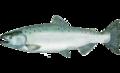 Oncorhynchus tshawytscha.png