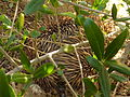 Onkapringa River NP echidna under an olive tree P1000605.jpg