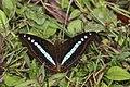 Open wing position of Sumalia daraxa Doubleday, 1848 – Green Commodore Butterflies of Pange,Talle valley - 5.jpg