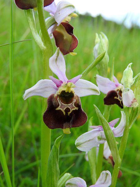 File:Ophrys holoserica 33.jpg