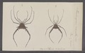 Opilio - Print - Iconographia Zoologica - Special Collections University of Amsterdam - UBAINV0274 069 05 0021.tif