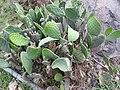 Opuntia ficus-indica-3-chenkadu-yercaud-salem-India.jpg