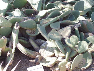 <i>Opuntia rastrera</i> species of plant