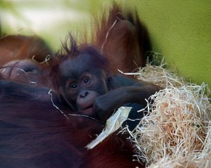 orang utan baby: just born in the munich zoo
