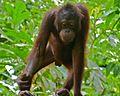 Orang Utan (Pongo pygmaeus) young (8066230601).jpg