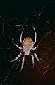 Orb-weaver Spider (Araneidae) (10595315846).jpg