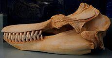 Orca-Schädel.jpg