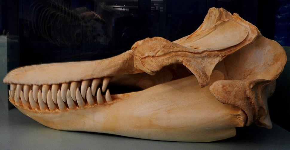 Orca-Schädel