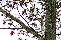 Orchard oriole (29705324838).jpg